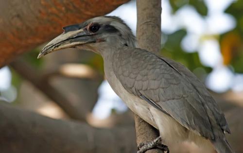 Indian-grey Hornbill