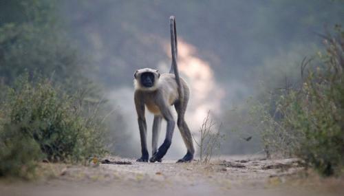 Indian Langoor