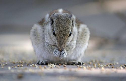 indian-palm-squirrel