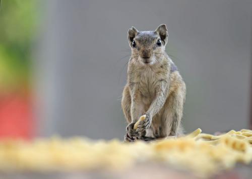 Indian-palm Squirrel