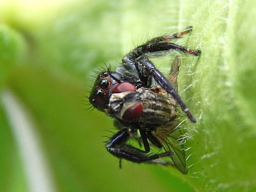 jumpin-spider