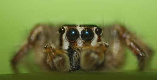 jumpin-spiders