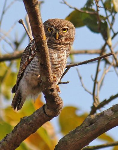 jungle-owlet