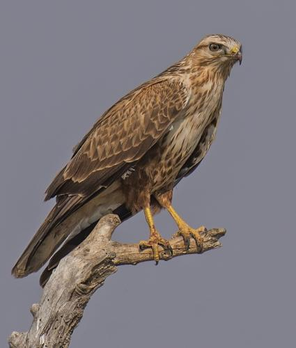 long-legged-buzzard (Buteo rufinus)
