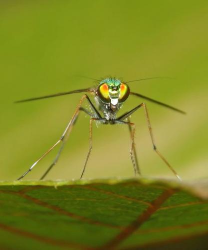long-legged-fly
