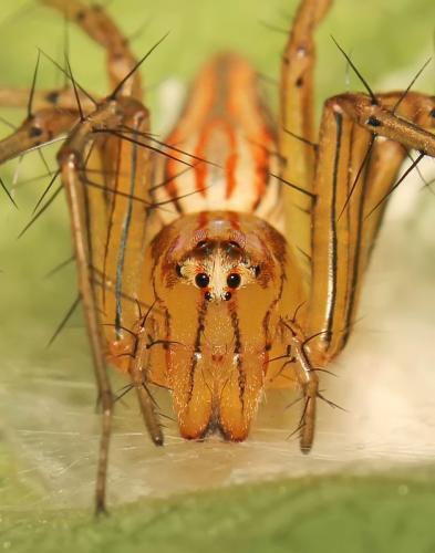 lynx-spider