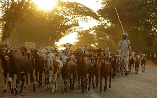 mehsana-shepherd-2