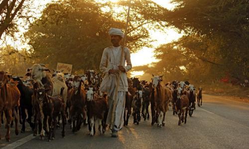 mehsana-shepherd