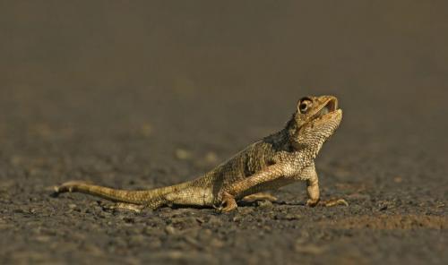 oriental-garden-lizard
