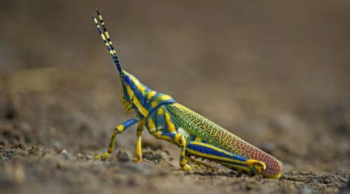 painted-grasshopper