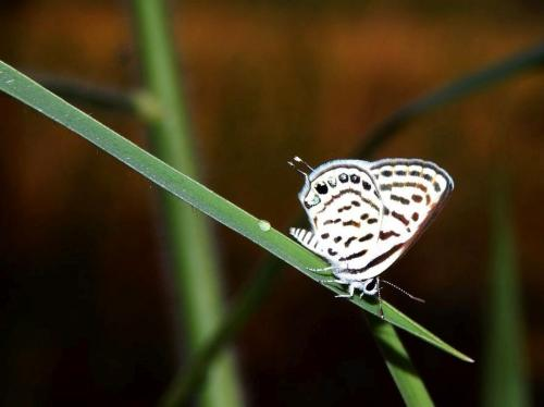 plain-cupid-butterfly