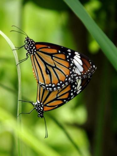 plain-tiger-butterfly