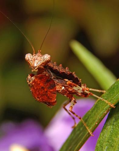 prayin-mantis