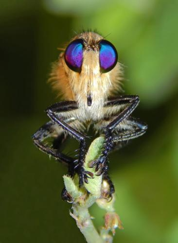 Robberfly close-up