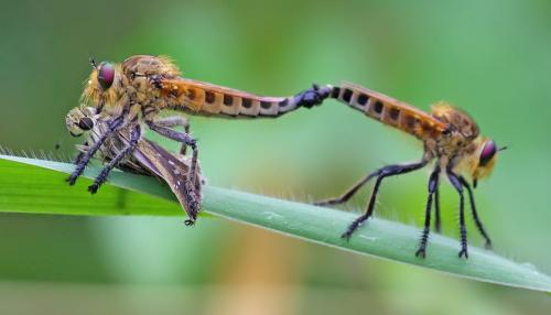 Robberfly mating with kill
