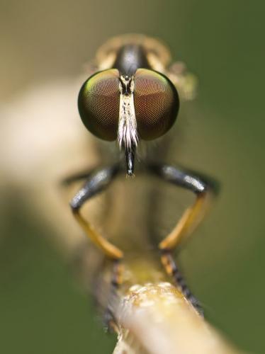 robberfly-posing
