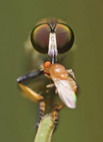 robberfly-with-kill