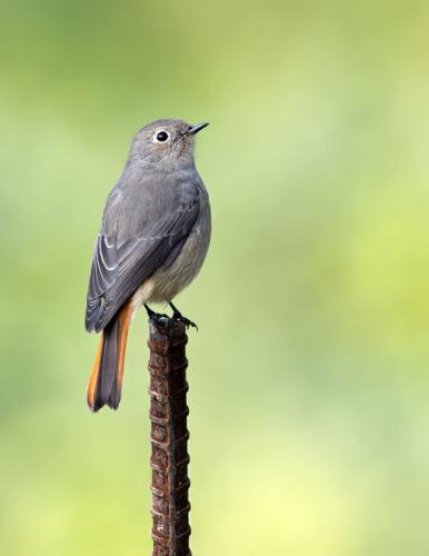 Bluen Fronted Redstart- Female