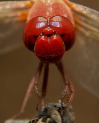 scarlet-dater-male _2