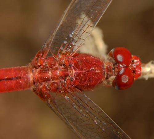 scarlet-dater-male