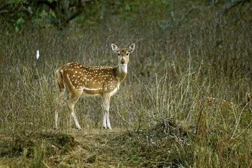 spotted-deer