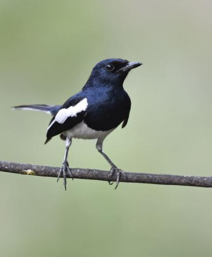 Indian-Magpie-Robin