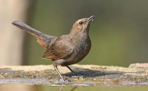 Indian-Robin-Female
