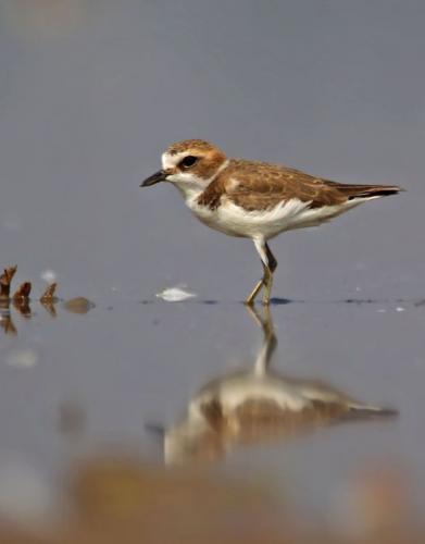 Lesser-sand-plover