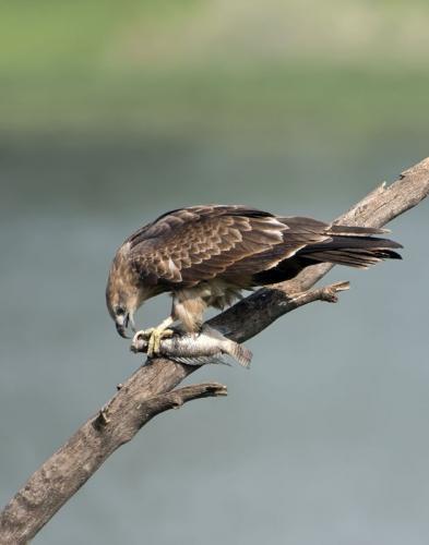 Black Kite with fish catch (Milvus migrans)