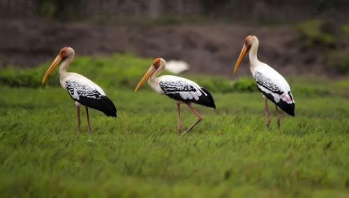 Painted-Stork