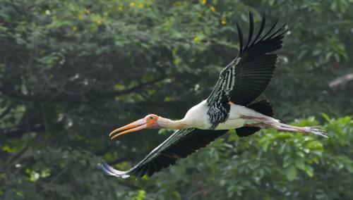 Painted-Stork 2