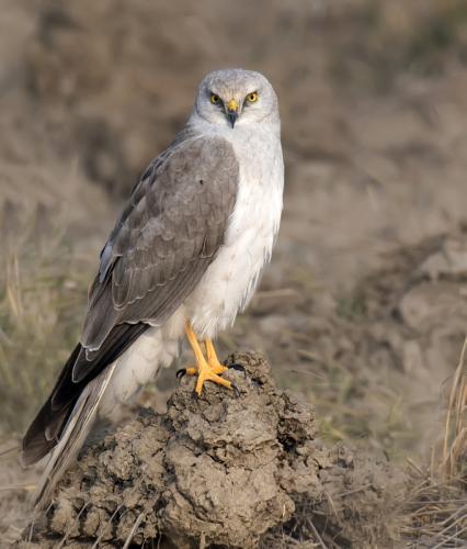 Pallid-Harrier-male(Circus macrourus)