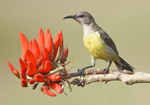 Purple-sunbird-Female 1