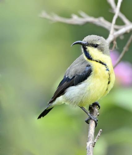Purple-sunbird-Female 3