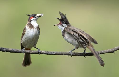 Red-vented-bulbul-with-chick-feeding