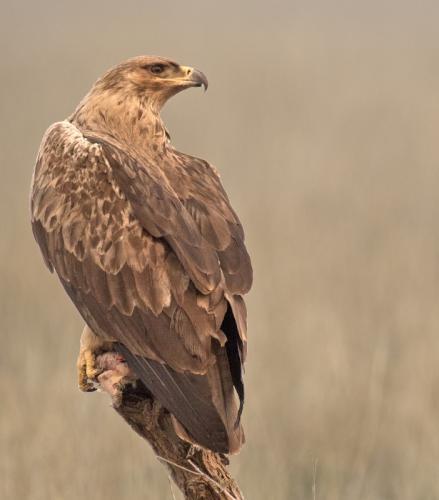 Tawny-eagle (Aquila rapax)