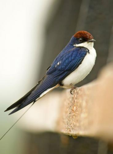 Wire-Tailed-Swallow 2