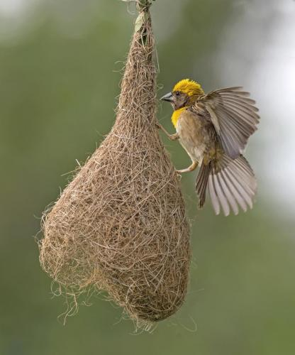 baya-weaver-nest-male