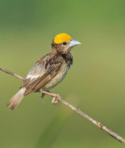 bengal-weaver-male