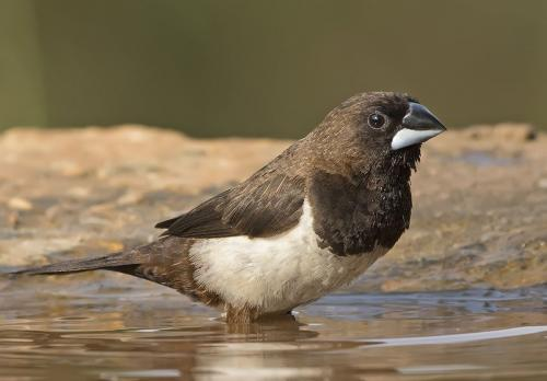black-rumped-munia