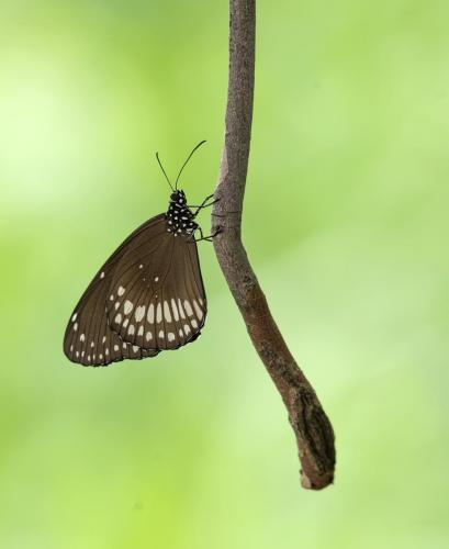 common-crow-butterfly