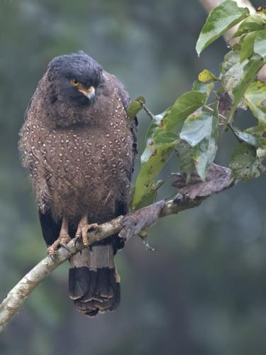 Crested-serpant Eagle (Spilornis cheela)
