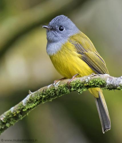 grey-headed-canary-flycatcher