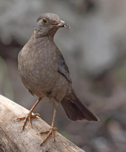 indian-blackbird-female
