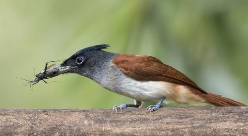 indian-paradise-flycaycher-female
