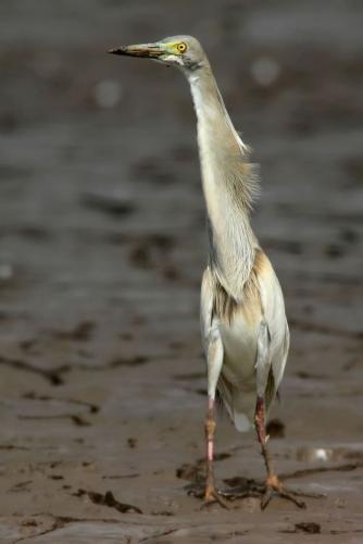 indian-pond-heron 2