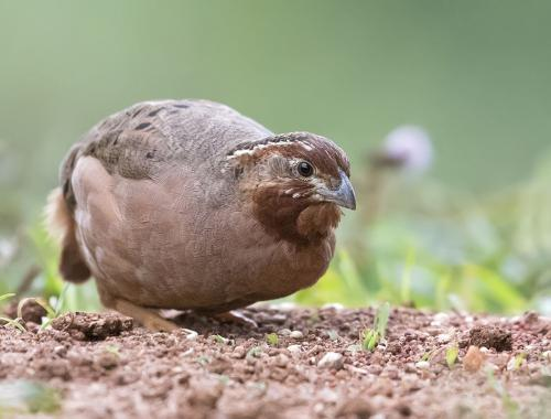 jungle-bush-quail-female