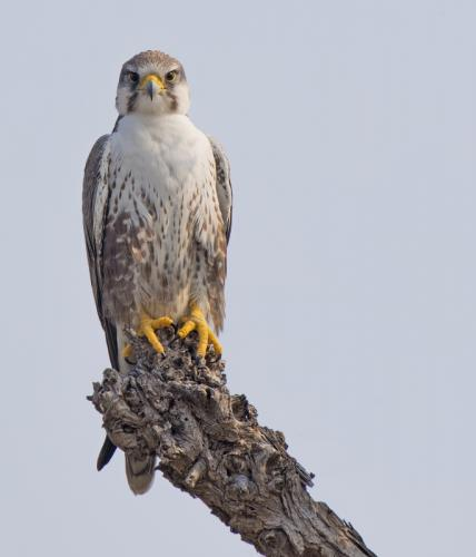 Laggar Falcon (Falco jugger)