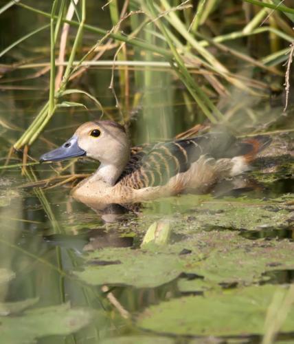lesser-whistling -duck (Dendrocygna -javanica)
