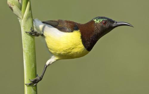purple-rumped-sunbird-posing